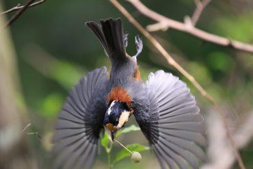 薬師池公園のヤマガラ