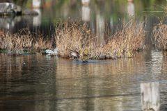 小池公園のカイツブリ