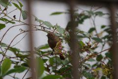 大田区立小池公園のジョウビタキ