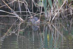 大田区立小池公園のカイツブリ