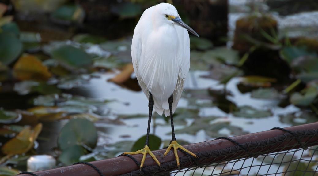 洗足池の白鷺(コサギ)