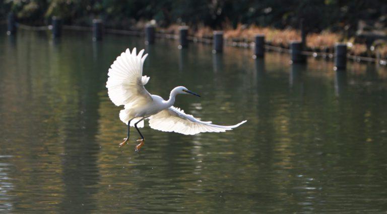 洗足池の白鷺飛翔