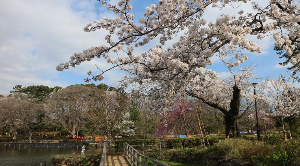 桜の季節-2013