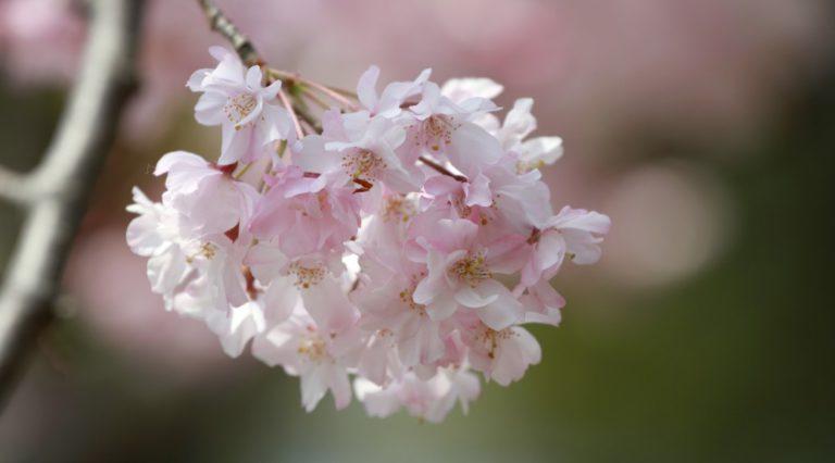 桜の季節-2013その2