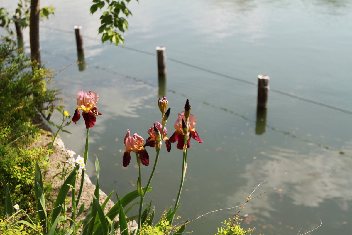 洗足池のジャーマンアイリス
