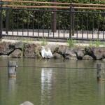 小池公園のコサギ