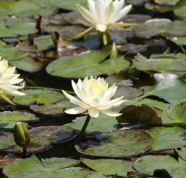 南池のハス