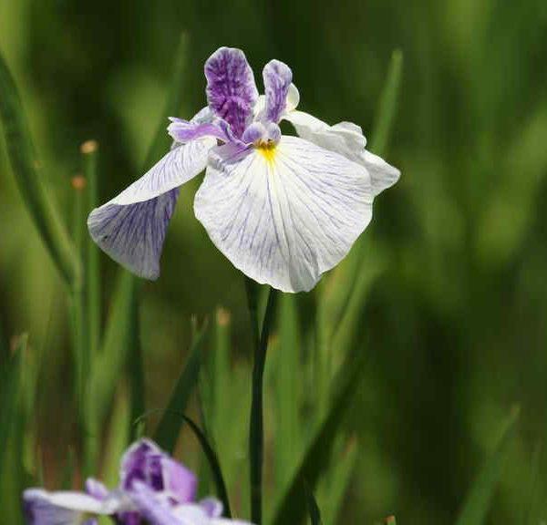 紫がかった花菖蒲