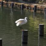洗足池の白鷺(コサギ)飛翔