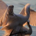 夕暮れの白鷺(チュウサギ)