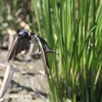 小池公園のツバメ