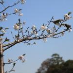 洗足池、桜満開!