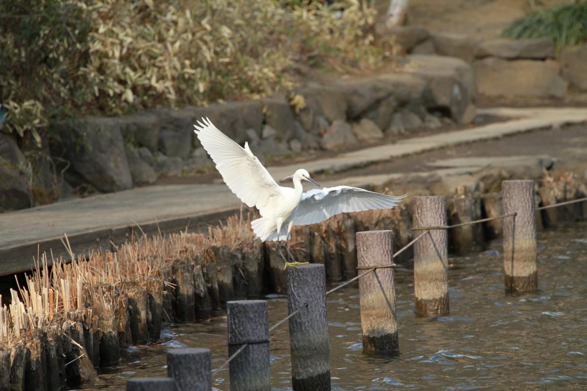 洗足池のコサギ飛翔
