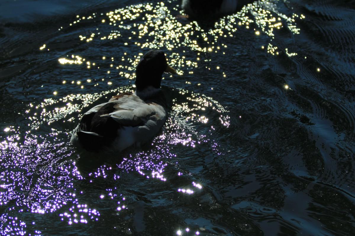 洗足池のマガモ