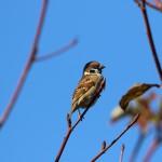洗足池の雀