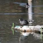 洗足池のオオバン