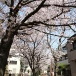 洗足流れの桜