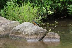 四季の森公園のカワセミ