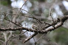 桜ヶ丘公園のコゲラ