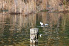 小池公園のハクセキレイ