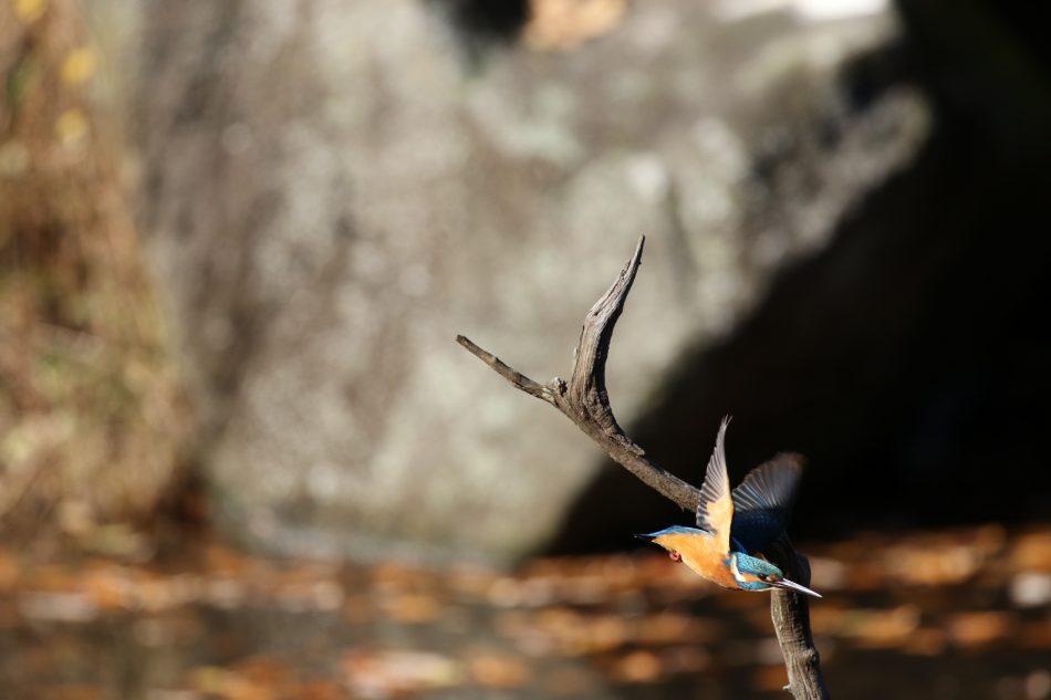 カワセミ(四季の森公園)