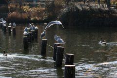 洗足池のユリカモメ