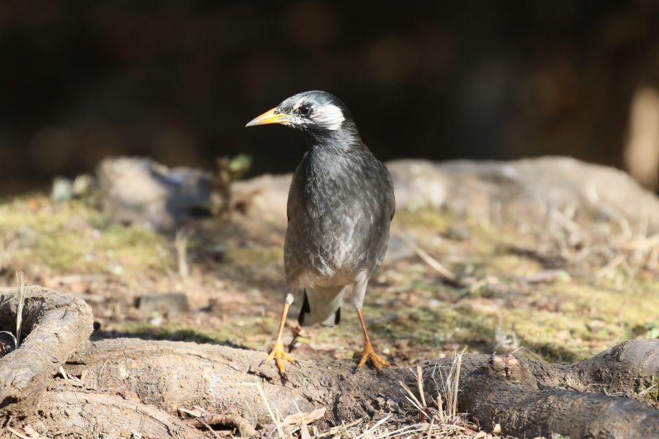 洗足池の野鳥たち