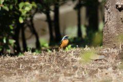 大田区立洗足池公園のジョウビタキ
