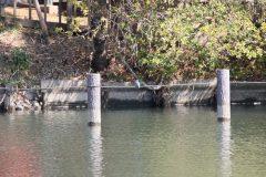 洗足池のカワセミ
