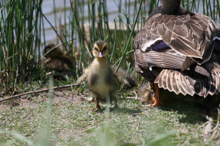 小池公園のカルガモ家族