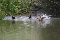 小池公園のカルガモとバン