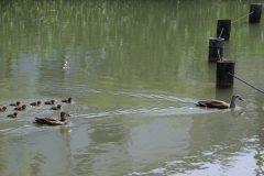 小池公園のカルガモ