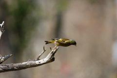 西湖 野鳥の森公園のカワラヒワ