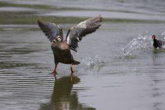 水面を走るカルガモ