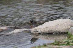 小池公園のムクドリ