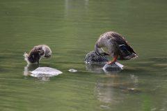 親鳥の真似をするカルガモの雛