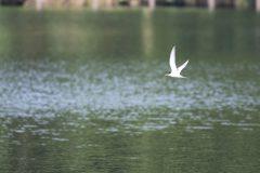 洗足池のコアジサシ