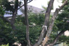洗足池のコアジサシ!