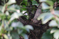 鳩の巣立ち