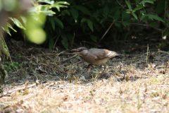 小池公園のムクドリの幼鳥