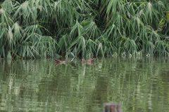 小池公園のバンの幼鳥