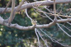 東京湾野鳥公園のアオジ