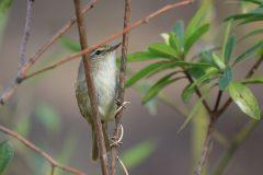 大田区の鳥はウグイス