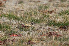 東京湾野鳥公園のタヒバリ