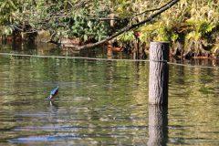 洗足池(東京都大田区)のカワセミ