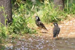 東京都大田区洗足池公園のムクドリ