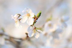 洗足池の桜