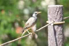 東京都大田区洗足池公園のムクドリムクドリ