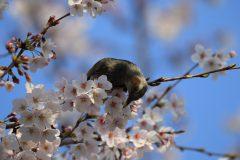 桜にヒヨドリ