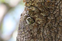 洗足池のコゲラの幼鳥